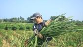 Hoa nở sớm, người dân Quảng Ngãi ngậm ngùi bán lỗ
