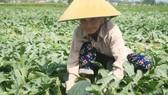 Quảng Ngãi: Dưa hấu nhích dần lên mức 4.000 đồng/kg