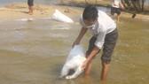 Quảng Ngãi: Thả 1,5 triệu giống tái tạo nguồn lợi thủy sản