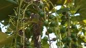 Quảng Ngãi: Hướng đến tạo vùng nguyên liệu cây mắc ca ở miền núi Sơn Tây
