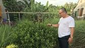 Thanh niên trồng loài cây sọ chó để bán lá khô thu tiền tỷ
