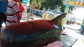 Quảng Ngãi: Cá heo dài 3m trôi vào đảo Lý Sơn