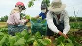 Nông dân hái rau hỗ trợ miễn phí các khu cách ly ở Quảng Ngãi