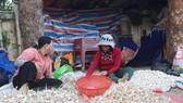 Khoảng 700 tấn tỏi khô chưa tiêu thụ ở đảo Lý Sơn