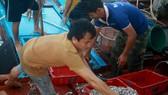 Quảng Ngãi: Sau bão, ngư dân ra khơi đánh bắt cá cơm