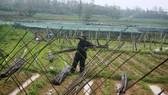 Quảng Ngãi: Nông dân đội mưa khôi phục vườn rau sau bão