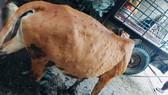 Trâu bò mắc bệnh viêm da nổi cục lây lan ở Quảng Ngãi