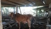 Bệnh viêm da nổi cục trên gia súc bùng phát ở Quảng Ngãi, thiệt hại trên 3 tỷ đồng