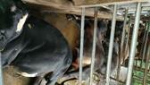Quảng Ngãi: Sét đánh chết 4 con bò, lốc làm tốc mái nhà dân