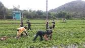 Quảng Ngãi: Hỗ trợ nông dân vùng phong tỏa tiêu thụ dưa hấu