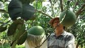 Năm nay bưởi sum suê, trái lớn nhất đến 3kg khiến nhà vườn phấn khởi. Ảnh: NGUYỄN TRANG
