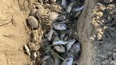 Quảng Ngãi: Chôn lấp hơn 5 tấn cá nuôi lồng bè bị chết sau bão số 5
