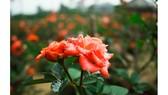 """Nhà vườn Quảng Ngãi giảm sản lượng hoa tết: """"Đến giờ chưa thấy bạn hàng gọi điện"""""""