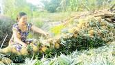Nông dân huyện Thạnh Trị đang thu hoạch khóm
