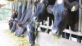 Tổ chức hội thi bò sữa, hội chợ triển lãm chăn nuôi
