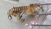 Cục Kiểm lâm yêu cầu báo cáo nuôi hổ, xem xét thu hồi giấy phép