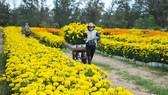 Phú Yên kêu gọi cùng chung tay mua hoa tết hỗ trợ người trồng hoa vượt khó. Ảnh minh họa: Báo Phú Yên