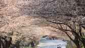 Hàn Quốc đẩy mạnh quảng bá chuẩn bị mở cửa trở lại du lịch quốc tế