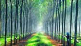 Nâng cao giá trị cây cao su  