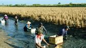 Nông dân huyện Thới Bình, Cà Mau sản xuất mô hình lúa - tôm. Ảnh minh họa
