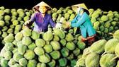 Nông dân có kinh nghiệm về sản xuất cây ăn trái