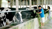 Nuôi bò sữa nông hộ ở huyện Củ Chi