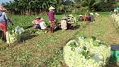 Giúp người trồng rau ở Gò Công