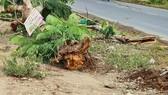 Công ty CP Công trình Đô thị Sóc Trăng lên tiếng về sự cố cây phượng bật gốc, đè chết người
