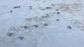 Rùa biển vừa nở được thả vào sáng 9-9 tại Cù Lao Chàm