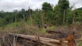 Điều tra vụ phá nghiêm trọng 7ha rừng tự nhiên tại Lâm Đồng