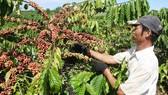 Thu hoạch cà phê tại huyện Bảo Lâm, tỉnh Lâm Đồng. Ảnh: ĐOÀN KIÊN