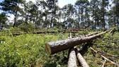 Rừng thông bị đốn hạ hàng loạt