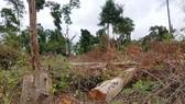 Phát hiện thêm 2 doanh nghiệp ở Lâm Đồng phá rừng trên đất dự án