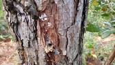 Lâm Đồng chỉ đạo điều tra, xử lý vụ đầu độc hơn 670 cây thông