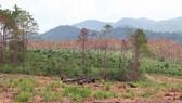 Khởi tố vụ án, bắt giam 3 đối tượng phá rừng quy mô lớn tại Lâm Đồng