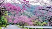 Trồng 1.000 cây mai anh đào trên đỉnh Langbiang