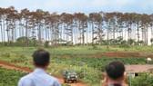 Khởi tố, bắt giam 6 đối tượng huỷ hoại hàng trăm cây thông ở Lâm Đồng