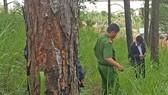 """Hàng chục cây thông bị """"đầu độc"""" ở Đà Lạt"""