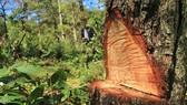 """Điều tra vụ """"đầu độc"""" rừng thông dưới chân núi Langbiang"""