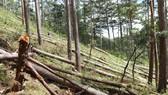 Rừng thông cổ thụ bị cưa hạ nằm la liệt tại tiểu khu 132, xã Đạ Sar, huyện Lạc Dương (Lâm Đồng). Ảnh: ĐOÀN KIÊN