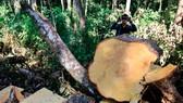 """Rừng bạch tùng hơn trăm năm tuổi tại Lâm Hà, Lâm Đồng bị """"xẻ thịt"""""""
