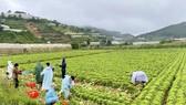 Thêm nhiều xe rau, củ từ Lâm Đồng hỗ trợ vùng dịch ở TPHCM và Phú Yên