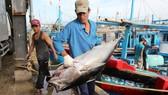 Số tàu tham gia khai thác cá ngừ theo chuỗi còn ít