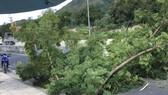 """Chuyện """"lạ đời"""" ở Khánh Hòa, hàng loạt cây xanh bị tỉa hết rễ"""