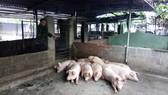 Hàng trăm con heo tại Khánh Hòa chết vì nhiễm bệnh