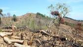 Hiện trường gần 61 ha rừng bị tàn phá tại xã An Hưng (huyện An Lão, Bình Định). Ảnh: NGỌC OAI