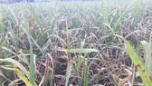Khẩn cấp cứu 1,1 triệu ha lúa có nguy cơ mắc bệnh cháy lá