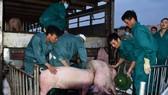 Thái Lan giảm xuất khẩu thịt heo sang Việt Nam