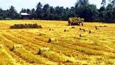 Thu hoạch lúa ở ĐBSCL