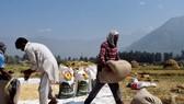 Việt Nam chỉ nhập gạo Ấn Độ để ủ bia, nấu rượu, làm thức ăn chăn nuôi
